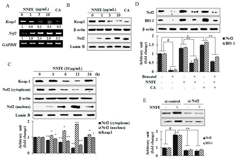 Effect of NNFE on nuclear translocation of nuclear factor erythroid 2-related factor 2 (Nrf2)-mediated HO-1 expression. RAW 264.7 cells were pretreated for 24 h with NNFE. The mRNA expression ( A ) and protein expression ( B ) of Nrf2 and Kelch-like ECH-associated protein 1 (Keap1) were measured by RT-PCR and western blot, respectively. ( C ) The time-dependent effect on the protein levels of cytosolic and nuclear Nrf2 was analyzed by western blot. ( D ) Cells were treated with an Nrf2 inhibitor (brusatol) with and without NNFE, and Nrf2 and HO-1 protein levels were analyzed by western blot. ( E ) Cells were treated with a siRNA of Nrf2 (si-Nrf2) with and without NNFE, and Nrf2 and HO-1 protein levels were analyzed by western blot. Statistical values are expressed as the mean ± SD ( n = 3). # p