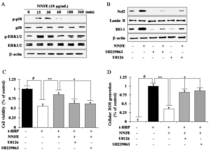 NNFE extract activates the translocation of Nrf2 by activating extracellular signal-regulated kinase 1 and 2 (ERK1/2) and p38. ( A ) RAW 264.7 cells were pretreated with 10 μg/mL NNFE for the indicated time and kinase activation was analyzed by western blot. ( B ) Cells were treated with 10 μg/mL NNFE in the presence and absence of specific inhibitor U0126 and SB239063 and the protein level of Nrf2 and HO-1 were analyzed by western blot. Following co-treatment with NNFE, U0126, and SB239063 for 12 h, cells were challenged with t -BHP for an additional 12 h, and then cell viability ( C ) and intracellular ROS generation ( D ) were analyzed. Statistical values are expressed as the mean ± SD ( n = 3). # p