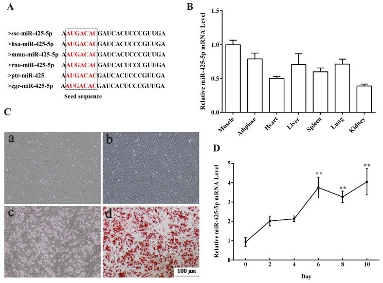 Expression profile of miR-425-5p in different porcine tissues and during porcine intramuscular preadipocyte differentiation. ( A ) Mature miR-425-5p sequence was conserved among species; ( B ) expression of miR-425-5p was analyzed by real-time PCR in seven different tissues of 180-day old Guanzhong Black pigs; ( C ) photomicrographs showing cell morphology change during porcine intramuscular preadipocyte differentiation (( a ) porcine intramuscular preadipocyte before 3-isobutyl-1-methylxanthine (IBMX)–Dexamethasone (DEX)–insulin (DMI) induction; ( b ) porcine intramuscular preadipocyte 2 days after DMI induction; ( c ) porcine intramuscular preadipocyte 8 days after DMI induction; ( d ) porcine intramuscular preadipocyte 8 days after DMI induction staining with Oil Red O); ( D ) expression of miR-425-5p during porcine intramuscular preadipocyte differentiation and the expression at the day 0 as a control. U6 small nuclear RNA was used as a reference gene. Results were presented as means ± SEM, n = 3; ** p