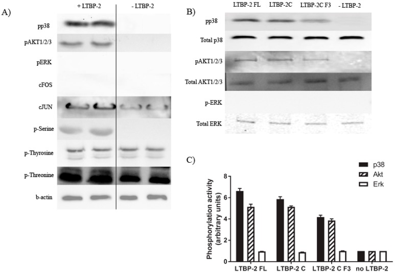 Exogenous LTBP-2 stimulates phosphorylation of AKT and p38 mitogen-activated protein kinase (MAPK) in human fibroblasts. ( A ) MSU-1.1 cells (1 × 10 5 cells/well) were treated with or without LTBP-2 (10 µg/mL) for 30 min. Total cell lysates were immunoblotted for phosphorylation of candidate signalling molecules, including phospho-serine, phospho-tyrosine, phospho-threonine, phospho-p38 MAPK, phospho-Akt1/2/3, phospho-ERK, c-FOS, c-JUN, and for β-actin internal control as described in materials and methods. Note that there was major phosphorylation of p38 MAPK and AKT1/2/3, but no stimulation of ERK or cFOS; ( B ) Cells were treated for 30 min with full-length LTBP-2 or with molar equivalents of fragments containing TGF-β1 stimulating activity, LTBP-2C(H), or LTBP-2C(H) F3. Cell lysates were immunoblotted for total and phosphorylated p38 MAPK, Akt1/2/3, and ERK; ( C ) The ratio of phospho-protein to total protein for each signal molecule from each treatment is expressed relative to the average value from no LTBP-2 control cells (given an arbitrary value of 1.0). Similar results were observed in replicate experiments.