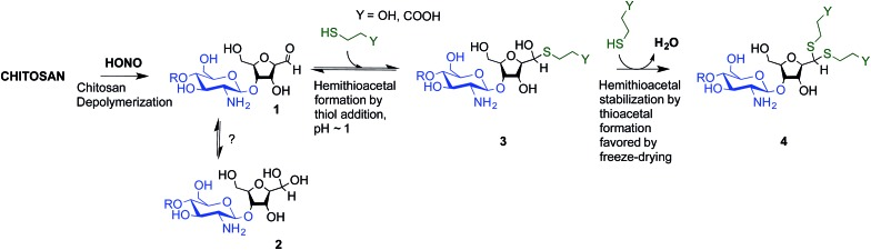 Thioacetal conjugation to the chitosan M-Unit formed post-HONO depolymerization: the first objective of this study was to assess the availability of the reactive form of the unhydrated M-Unit aldehyde ( 2 ). Although there could be a strong displacement of the equilibrium towards the unreactive aldehyde-hydrated or gem -diol form in water, we hypothesized that efficient nucleophilic conjugation to the M-Unit was possible in acidic aqueous conditions. The second objective was to assess the M-Unit reactivity towards thiol moieties in aqueous conditions. The proposed reaction pathways between CS end-groups and thiols include the M-Unit CS aldehyde reacting directly with a thiol-bearing model molecule (β-mercaptoethanol and 3-mercaptopropionic acid, BME and MPA respectively) to form a hemithioacetal intermediate ( 3 ) through a pH-dependent equilibrium. By analogy with Schiff base formation where the equilibrium displacement occurs by water removal, the hemithioacetal can be stabilized into the corresponding thioacetal ( 4 ) by freeze-drying.