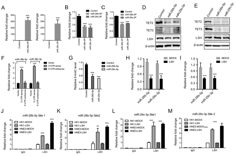 Both miR-26b-5p and miR-29c-3p inhibited TET2 and TET3 expression and were silenced by LSH. (A) Ectopic expression of miR-26b-5p (Left) and miR-29C-3p (Right) in MCF-7 cells. Relative expression levels of TET2 (B) and TET3 (C) were detected by RT-PCR after the transfection of miRs as indicated. (D, E) Expression levels of TET2 and TET3 were analyzed after the transfection of miRs as indicated in HK1 (F) and HNE3 (G) cells, whereas LSH protein level unchanged. (F) Luciferase reporter assay in 293 cells together with miRs as indicated, and with transfection of pMiR-Report-TET2 3'-UTR sense or pMiR-Report-TET2 3'-UTR antisense as indicted. (G) ELISA of 5-hmC was used to assess 5-hmC levels from genomic DNA derived from HNE3 cells after introduction of miRs as indicated. (H, I) miR levels of miR-26b-5p and miR-29c-3p in HK1 (H) and HNE3 (I) cells after overexpression of LSH. (J-M) The recruitment of LSH the promoter regions of miR-26b-5p (J and L) and miR-29c-3p (K and M) was analyzed in HK1 and HNE3 cells after overexpression of LSH. * p