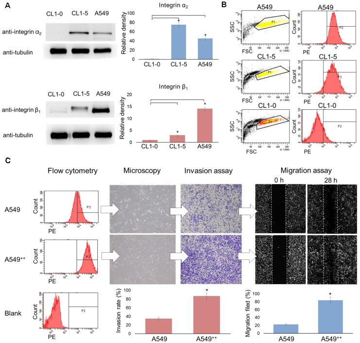 Over-expression of integrin α2β1 is associated with the malignant phenotype of human non-small cell lung cancer. (A) Western blot analysis of integrin α2 or β1 expression in the lung cancer cell lines CL1-0, CL1-5 and A549. (B) Flow cytometry was performed to evaluate the distribution level of integrin α2β1 on the tumor surface. (C) Using cell sorting, A549 cells were separated into two populations, non-sorted A549 and integrin α2β1-high A549 ++ cells, and the correlations between the integrin α2β1 level and the association with migration and invasion capabilities were determined. The A549 ++ population displayed a marked expression signature corresponding to a more aggressive NSCLC phenotype. Error bars represent the standard deviation of the mean. * p