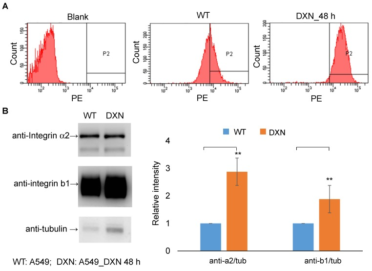 Integrin α2β1 is up-regulated after doxorubicin treatment. (A) In vitro FACS analysis of integrin α2β1 expression in wild-type A549 cells (WT) and after doxorubicin treatment (4 μg/mL; 48 h) in A549 cells (DXN). A clear shift in the abundance of integrin α2β1 was observed in the DXN group. (B) Doxorubicin treatment affected the protein levels of integrin α2 and β1 in A549 cells. Semi-quantitative analysis of the Western blot results revealed a markedly higher level of both integrin proteins in DXN cells (** p