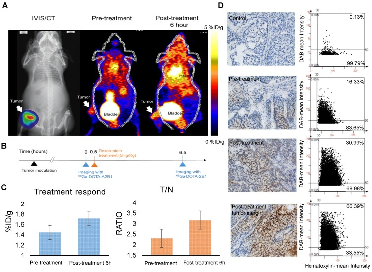 Bone metastasis targeting and treatment response monitoring using 68 Ga-DOTA-A2B1 PET imaging in vivo . (A) Optical bioluminescence imaging results demonstrated the A549 tumor lesion location, and the PET image clearly shows that 68 Ga-DOTA-A2B1 specifically accumulated in osseous tumor grafts located in the left tibia of the mouse, not in the contralateral limb tibia. (B) Schematic representation of the treatment response workflow. Immediately after the first image scan, male mice received a single dose of doxorubicin (5 mg/kg), and at 6 h post-treatment, changes in the drug resistance phenotype were monitored with the 68 Ga-DOTA-A2B1 tracer. PET identified a clear region of contrast in the tumor-implanted tibia, where the tracer uptake was significantly higher than in the pretreatment image. (C) Quantitative analysis of 68 Ga-DOTA-A2B1 PET tracer uptake. The results indicated significantly elevated (19 %) tumor uptake and an increased T/N ratio, as observed by PET imaging, within 6 h of doxorubicin treatment. * p