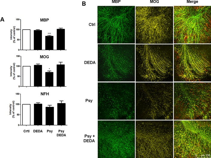 DEDA treatment inhibits psychosine-induced demyelination of cerebellar slices. (A) Bar graph illustrating changes in MBP, MOG and NFH staining after psychosine (100 nM) ± DEDA (100 nM) treatments. (B) Representative confocal images displaying MBP (MBP, green), MOG (MOG, yellow) and neurofilament (NFH, red) immunostaining under treatment conditions indicated. Confocal images captured at ×10 magnification; scale bar 200μm. Mean fluorescence was calculated using a total of 25–36 independent ROI observations in each experiment. Data are presented as mean±s.e.m. (n = 7), one-way ANOVA and Newman–Keuls multiple comparison post-test *p
