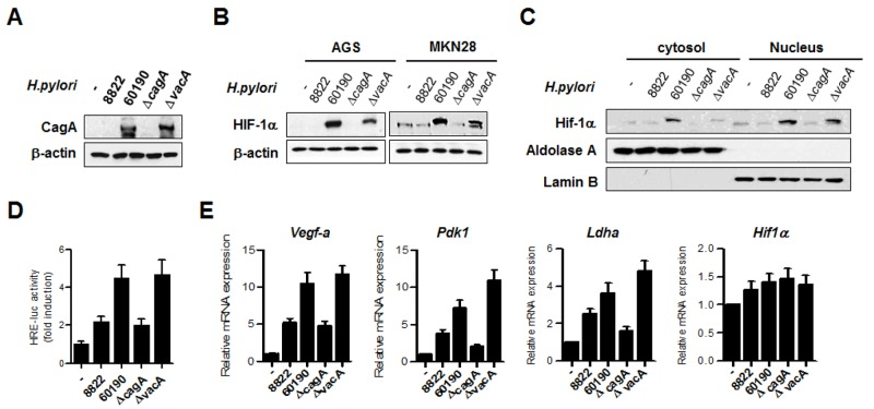 H. pylori CagA increases HIF-1α activity and induces expression of HIF-1α target genes (A) AGS cells were infected with H. pylori strains for 6 h and the CagA protein level was analyzed by immunoblotting. (B) Lysates from AGS and MKN28 cells infected with H. pylori strains were immunoblotted with anti-HIF-1α, and then, the membrane was stripped and analyzed with anti-β-actin to standardize gel loading. (C) MKN28 cells were infected with H. pylori strains for 6 h, and then, cytoplasmic and nuclear fractions were separated. The nuclear proteins were analyzed by immunoblotting with anti-HIF-1α. To verify complete separation of the cytosolic and nuclear fractions, cytosolic and nuclear extracts were immunoblotted for aldolase A and lamin B. (D) MKN28 cells were co-transfected with HRE-Luc together with TK-renilla for 24 h and then infected with H. pylori strains for 12 h. Firefly luciferase activity was measured and normalized to Renilla luciferase activity. (E) MKN28 cells were infected with H. pylori for 12 h, and the fold change in HIF-1α target gene levels was measured by real-time PCR using specific primers for Vegf-a , Pdk-1, Ldha, and Hif-1α . Data are represented as mean ± SD (n = 3).