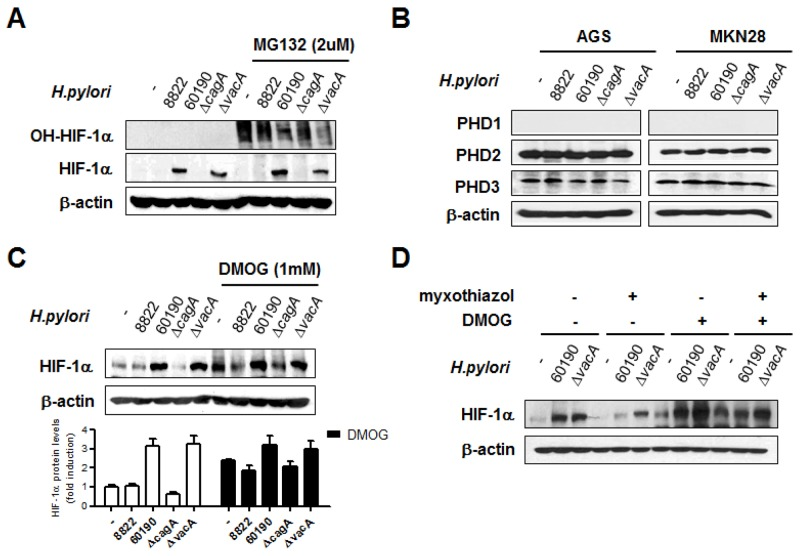 <t>CagA</t> + H. pylori -induced <t>HIF-1α</t> stabilization is regulated by prolyl hydroxylase (PHD) activity (A) AGS cells were pretreated with or without 10 μM MG-132 for 1 h and infected with H. pylori for 6 h. Cell lysates were immunoblotted with antibodies specific for hydroxylated HIF-1α (OH-HIF-1α) and total HIF-1α. (B) After infection with H. pylori for 6 h, immunoblotting was performed using the indicated antibodies. (C) AGS cells were pretreated with or without 1mM DMOG for 2 h and infected with H. pylori for 6 h. Cell lysates were immunoblotted with anti-HIF-1α antibody. Densitometric ratios between HIF-1α and β-actin immunoblotting are shown at the bottom. (D) After treatment with the indicated inhibitors prior to CagA + H. pylori infection, HIF-1α protein levels were detected by immunoblotting. Data are represented as mean ± SD (n = 3).