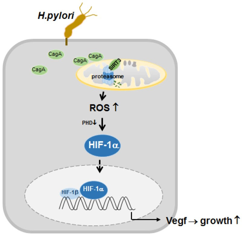 Proposed model depicting the regulation of HIF-1α by downregulated SIRT3-mediated ROS production in H. pylori -infected gastric cells Infection with H. pylori CagA + induces SIRT3 protein degradation by proteasome activity. Increased ROS generation from the downregulated SIRT3 activity mediates the activation of HIF-1α, and this, in turn, induces the expression of HIF-1α target genes, which leads to gastric cancer proliferation.