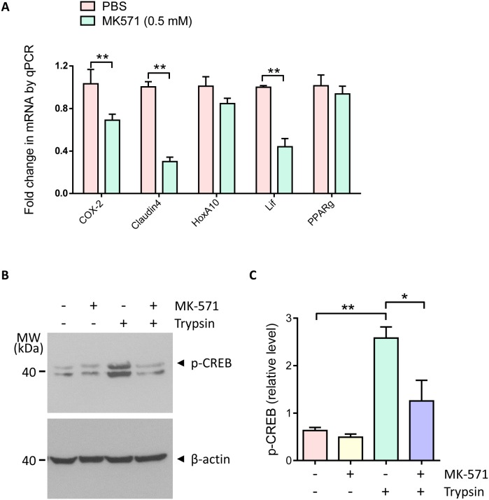 Involvement of <t>MRP4</t> in regulation of embryo implantation gene expression and <t>CREB/COX-2</t> signaling (A) Quantitative PCR of COX-2, Claudin4, HoxA10, Lif and PPARg in mouse uteri 24 hours after intrauterine injection with MK-571 (0.5 mM, day 3 post mating) (n = 4, ** P