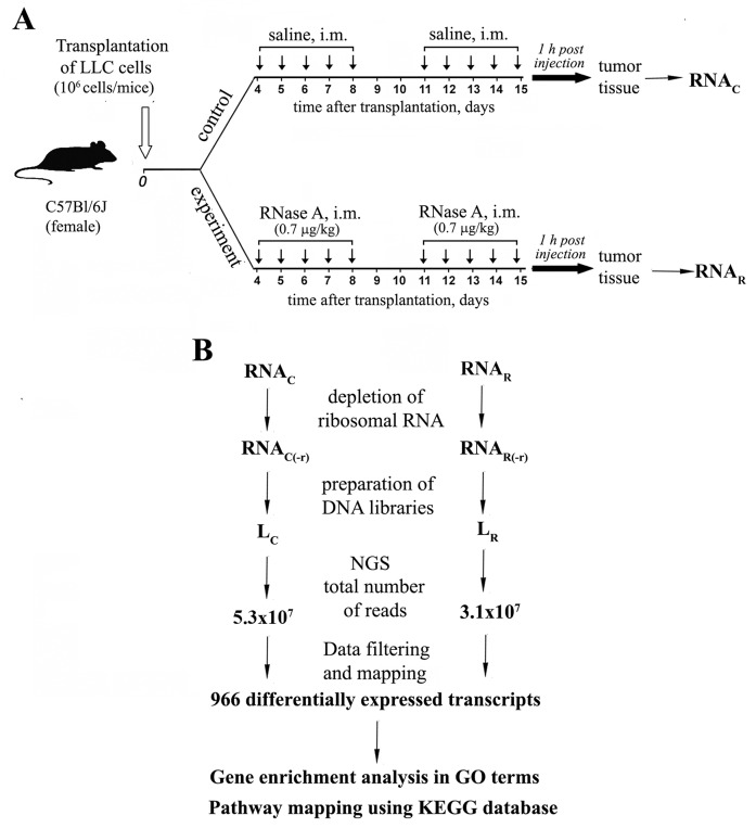 Experimental design and data mining (A) Mice with i.m. transplanted LLC were treated with saline or RNase A at a dose of 0.7 μg/kg for 10 days starting on the 4 th day after tumor transplantation. At 1 h after the last injection, tumor tissue samples were collected. (B) Total RNA was isolated and pooled according to groups. mRNA fractions were enriched by ribosomal RNA depletion and used for the construction of cDNA libraries. Libraries were sequenced using the standard SOLiD™ V5.5 (Applied Biosystems) protocols. Reads were mapped to the Mus musculus reference genome (version NCBI37), and analysis of differential expression was performed. Differentially expressed transcripts were annotated to GO terms and analyzed using KEGG database to assign pathway mapping.