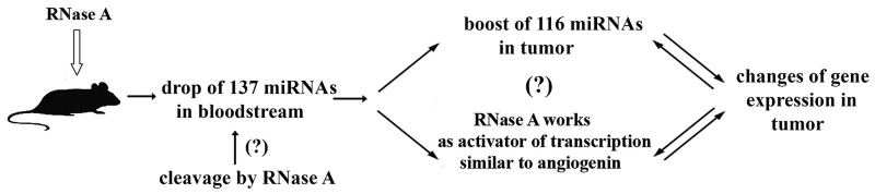 Proposed mechanism of antitumor activity of RNase A RNase A therapy resulted in the boost of 116 miRNAs in tumour tissue and drop of 137 miRNAs in the bloodstream of mice with intramuscularly transplanted LLC and in the changes in the expression of 966 transcripts in tumor cells.