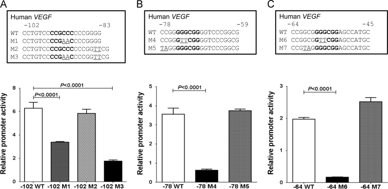 Effects of site-directed mutations on VEGF-A promoter activity. (A) Three site-directed mutations from −102 to −83, VEGF M1–3 are indicated. VEGF M1 and M3 markedly decreased the promoter activity induced by HQ+AGEs. (B) Two site-directed mutations from −78 to −59, VEGF M4 and M5 are indicated. VEGF M4 markedly decreased the promoter activity. (C) Two site-directed mutations from −64 to −45, VEGF M6 and M7 are indicated. VEGF M6 markedly decreased the promoter activity. GC box sequences, which are possible binding sites for SP1 in the VEGF-A promoter, were shown by bold, and the mutation sites were underlined. Values are means±SEM for each group ( n =3).