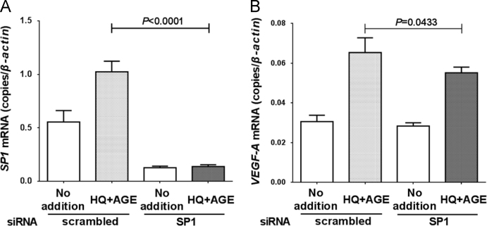 Effect of SP1 knockdown on VEGF-A mRNA expression in ARPE-19 cells. After siRNA introduction, ARPE-19 cells were exposed with HQ+AGE. The mRNA levels of (A) SP1 and (B) VEGF-A were measured by real-time RT-PCR. Data are expressed as means±SEM for each group ( n =4).