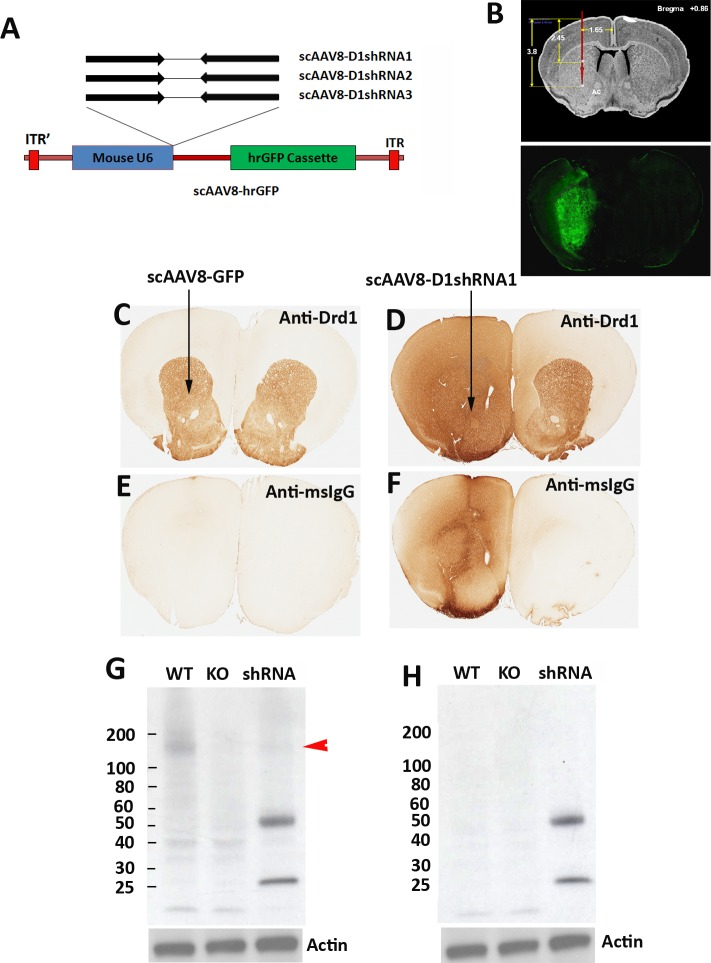 Massive mouse IgG proteins in brain tissue transduced with scAAV8-D1shRNAs. (A) Three shRNAs targeting different sites of mouse Drd1 mRNA were designed to suppress Drd1 expression. All three Drd1 shRNAs were under the control of mouse U6 promoter in scAAV-hrGFP vector. (B) The coordinates for the stereotaxic injection of scAAV8 virus into mouse striatum. Transduction efficiency of scAAV8 was examined by hrGFP expression in mouse striatum 4 weeks after surgery. Immunohistochemical staining of striatal Drd1 protein was conducted using mouse anti-Drd1 antibody in control mice (C) injected with scAAV8-hrGFP virus or mice injected with scAAV8-D1shRNA1 virus (D) 7 weeks post-injection. The virus was injected only into the left hemisphere as indicated by the arrows. ImmPRESS peroxidase-micropolymer conjugated horse anti-mouse IgG secondary antibody (without primary antibodies) was used for immunostaining of the control brain section (E) from mice injected with scAAV8-hrGFP virus and the brain section (F) from mice injected with scAAV8-D1shRNA1 virus. (G) Western blot analysis of Drd1 expression in the striatum of wildtype and Drd1 knockout mice as well as mice injected with scAAV8-D1shRNA1 virus. A putative Drd1 band migrating between 100 to 200 kD (red arrowhead) may be oligomers of Drd1 proteins that are absent in the knockout mice and reduced in the mice injected with scAAV8-D1shRNA1 virus. Mouse IgG heavy (50 kD) and light chains (25 kD) were detected only in mice injected with scAAV8-D1shRNA1 virus. The same set of samples was analyzed in Western blot with the anti-mouse IgG secondary antibody only (H). Massive mouse IgG was confirmed in mouse brain tissue transduced with scAAV8-D1shRNA1 virus.