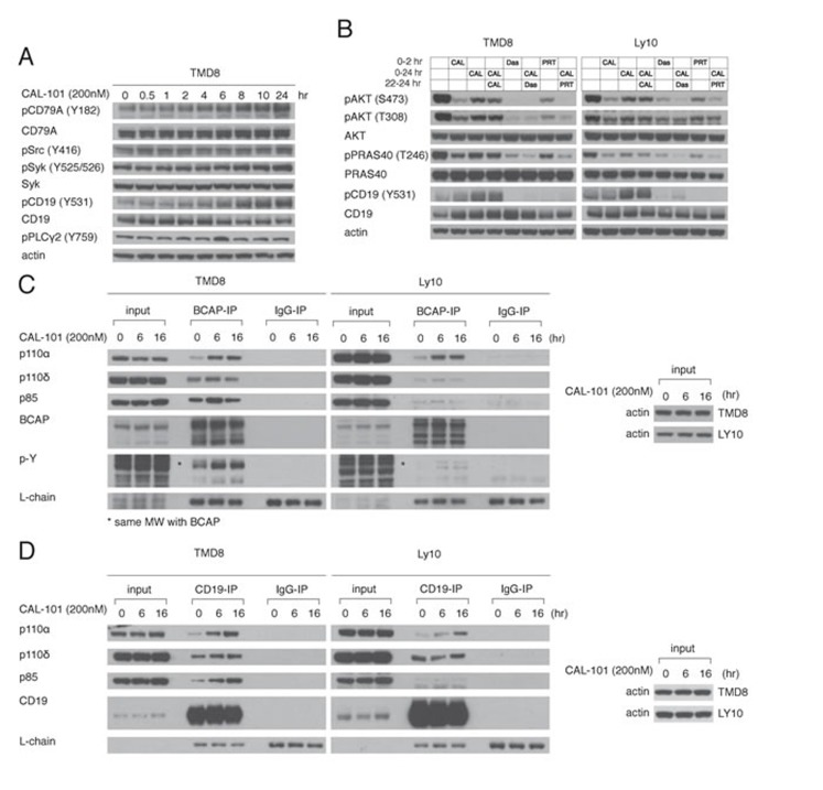 Feedback activation of PI3Kα following PI3Kδ inhibition depends on increased BCR signaling A. TMD8 was exposed over different time periods to CAL-101. Western blot indicates increased proximal BCR signaling following PI3Kδ inhibition. B. TMD8 and Ly10 were treated with 200nM CAL-101, 50nM Dasatinib (src inhibitor), 1000nM PRT062607 (Syk inhibitor) at the indicated time points and harvested at 2hr and 24hr. Results indicates that rebound PI3K reactivation following PI3Kδ inhibition is sensitive to Src and Syk inhibition. C. TMD8 and Ly10 were treated with CAL-101 over 0, 6 and 16hr. Cells were harvested, lysed with NP-40 lysis buffer, immunoprecipitated with BCAP and probed for the indicated proteins. D. TMD8 and Ly10 were treated with CAL-101 over 0, 6 and 16hr. Cells were harvested, lysed with NP-40 lysis buffer, immunoprecipitated with CD19 and probed for the indicated proteins.