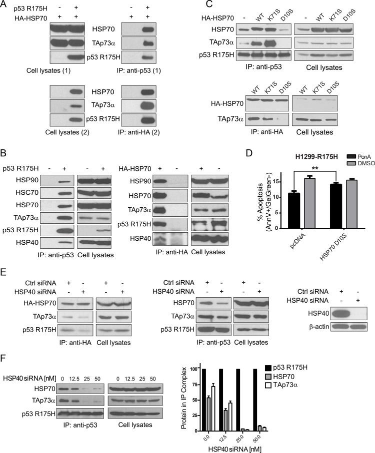Molecular chaperones facilitate p53 R175H-TAp73α complex formation ( A ) Double immunoprecipitation experiments (Two step Co-IP). H1299 cells were transfected with plasmids encoding p53 R175H, TAp73α and <t>HA-HSP70.</t> After 24 h cellular proteins were cross-linked and the first co-immunoprecipitation (1) with anti-p53 antibody was carried out. Protein complexes were eluted from beads (Cell lysates 2) and second co-immunoprecipitation (2) with anti-HA antibody was performed. Laemmli buffer was supplemented with DTT to reverse cross-linking reaction. Lysates from cells transfected with plasmids encoding TAp73α and HA-HSP70 but not p53 R175H were used as a control of the specificity of anti-p53 antibody (first lane, right panel). ( B ) H1299 cells were transfected with plasmids encoding p53 R175H and TAp73α (left panel) or p53 R175H, TAp73α and HA-HSP70 (right panel). Immunoprecipitations were carried out with anti-p53 (left panel) or anti-HA antibody (right panel) to immunoprecipitate p53 or HA-HSP70, respectively. As a control of the specificity of antibodies applied for immunoprecipitations, cell lysates with no p53 R175H or no HA-HSP70 were used (–). ( C ) H1299 cells were transfected with plasmids encoding p53 R175H, TAp73α and HA-HSP70 WT/K71S/D10S respectively. 24 h post-transfection cells were lysed and p53 protein was immunoprecipitated with anti-p53 antibody – top panel, or with anti-HA antibody – bottom panel. The immunoprecipitated protein complexes were analyzed by Western blot. ( D ) H1299-R175H cells were transfected with a plasmid encoding HA-HSP70 D10S or with a control plasmid (pcDNA). After 6 h the medium was supplemented with 0.5 μM Ponasterone A (Pon A) to induce p53 R175H. Cells with no induction were treated with DMSO. After 24 h treatment with 60 μM Cisplatin, the apoptotic response of cells stained with Annexin V/Gel Green dye was measured by FACS. Bars represent the decrease (%) of cells in early apoptosis (Annexin V positive, Gel Green dye