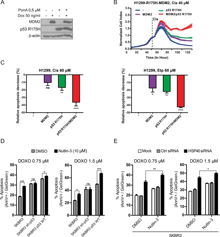 p53 R175H and MDM2 proteins synergistically reduce chemosensitivity of lung and breast cancer cells ( A ) H1299-R175H-MDM2 cell line was treated with Ponasterone A (Pon A) and/or Doxycycline (Dox) for 24 h to induce p53 R175H and/or MDM2, respectively. Immunoblotting with specific antibody revealed tight and efficient expression of both proteins. ( B ) Induced and uninduced cells were grown in triplicate in chambers compatible with the xCELLigence RTCA DP Instrument and Cisplatin (40 μM) was added at the indicated time point. Proliferative index was monitored for 120 h. Mean and standard deviation of three repeats are shown. ( C ) After 48 h treatment with 60 μM Cisplatin (left panel) or <t>Etoposide</t> (right panel), the apoptotic response of induced or uninduced cells stained with Annexin V/Gel Green dye was measured with a flow cytometer. p53 R175H or MDM2 expressed alone reduced apoptosis to same extent, whereas significant decrease was observed after simultaneous induction of both proteins. Bars represent the relative decrease (%) of cells in early apoptosis (Annexin V positive, Gel Green dye negative), estimated as follows = ( Value − Baseline ) Baseline × 100 (Baseline–Apoptotic response of uninduced H1299-R175H-MDM2 cell line). Statistical significance ( P value) was counted for three independent experiments with Anova statistical test. *, **, ***, **** indicate statistical significance p