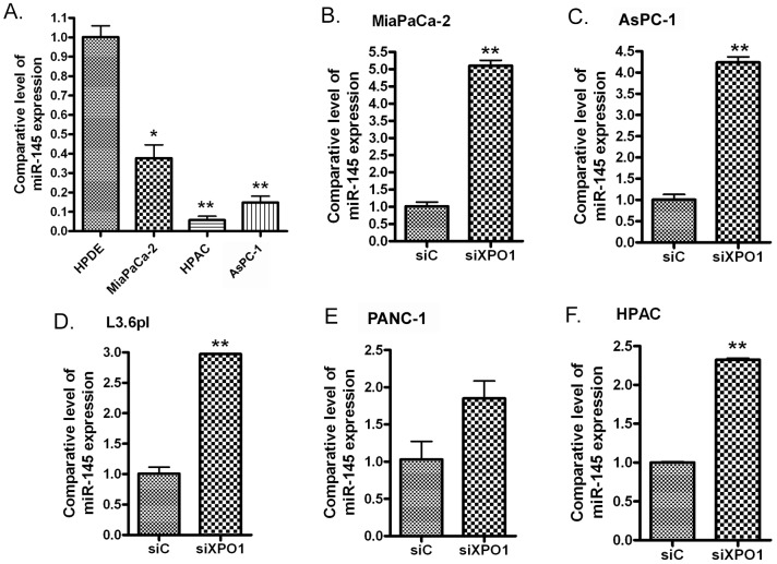 miR-145 was significantly down-regulated in PDAC cells (A) and transfection of XPO1 siRNA into PDAC cells induced the expression of miR-145. MiaPaCa-2 (B) , AsPC-1 (C) , L3.6pl (D) , PANC-1 (E) and HPAC (F) PDAC cells were transfected with XPO1 siRNA or control siRNA for 48 hours. The total RNAs from each sample were extracted and subjected to real-time RT-PCR for detection of miR-145 expression (*: p