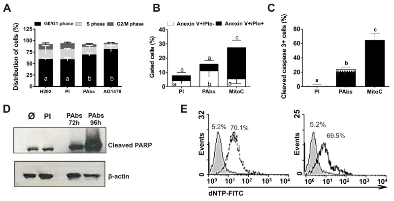 Cell cycle arrest and apoptosis induction (A) H292 cells were incubated during 48 hours with pooled immune sera from day 56 (PAbs) or pre-immune sera (PI) diluted 1: 20 and heated at 56°C for 30 minutes to inactivate the complement. AG1478 (1μM) was used as positive control. Cells were treated with RNAse (100μg/mL) and stained with propidium iodide (PIo) 100μg/mL. A methanalysis of three performed experiments is shown. (B-E) Molecular markers of apoptosis induction were measured in H292 cells treated with PAbs, diluted 1:10 and pre-incubated at 56°C for 30 minutes to inactivate the complement. PI and mitomycin C, at 10μg/mL (MitoC) were used as negative and positive controls, respectively. (B) Phosphatidylserine exposure (PS) was determined after 48h of treatment by Anexin V/FITC and PIo double staining (Mean ± S.D. n=5). (C) Caspase 3 activation was detected by flow cytometry after 72h of treatment (Mean ± S.D. n=4). (D) Detection of PARP cleavage by Western blot was performed after 72h or 96h of incubation. (E) DNA fragmentation was evaluated by TUNEL assay after 120h of incubation with PAbs (dot line histogram), PI (gray filled histogram) or MitoC (solid line histogram). Statistical analysis was performed by a Kruskall-Wallis test, followed by Games Howell post-test. a vs b p