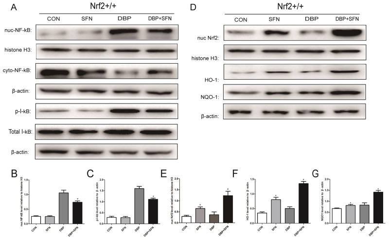 SFN pretreatment enhances Nrf2 nuclear translocation and increases HO-1 and NQO-1 protein expression in Nrf2 +/+ mice (A) Protein expression levels of nuc NF-κB and p-I-kB in different groups. Histone H3 or β-actin was used as a protein Control to normalize volume of protein expression. (B-C) Protein levels were determined by densitometric analysis and normalized to the Histone H3 signal or the β-actin signal. (D) Protein expression levels of Nrf2, HO-1 and NQO-1 in different groups. Histone H3 or β-actin was used as a protein Control to normalize volume of protein expression. (E-G) Protein levels were determined by densitometric analysis and normalized to Histone H3 or the β-actin signal. Data are expressed as mean ± SD. *significant difference vs. Control group (P