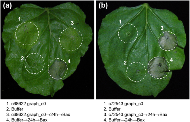 Assay for suppression of BAX-triggered cell death (BT-PCD) by the candidate Heterodera avenae effectors ( a ) c68622.graph_c0 and ( b ) c72543.graph_c0 in Nicotiana benthamiana . Leaves of N. benthamiana were infiltrated with the infiltration buffer or Agrobacterium tumefaciens cells containing a pGR107 vector carrying the candidate effector gene either alone or infiltration with A. tumefaciens cells carrying a mouse Bax gene 24 h later. Photos of the phenotypes of infiltrated N. benthamiana leaves were taken 6 days after infiltration. The spots with label 3 on the leaf show that the gene c68622.graph_c0 suppressed the necrosis induced by Bax , but the gene c72543.graph_c0 did not suppress necrosis.