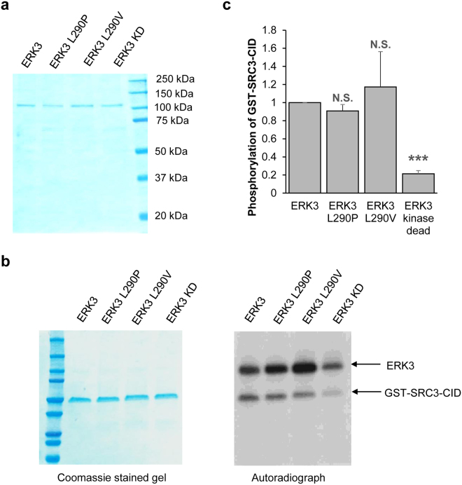 L290P/V mutations do not alter ERK3 kinase activity. ( a ) Coomassie staining of purified wild type or mutant ERK3 proteins. 293 T cells were transfected with HA-tagged wild type ERK3, ERK3 L290P, L290V or kinase dead (KD) plasmids. ERK3 proteins were immunoprecipitated using HA-antibody-conjugated agarose beads, followed by elution with HA peptide. The purified proteins (300 ng) were analyzed by SDS-PAGE gel followed by Coomassie staining. The molecular size of each protein marker is indicated on the right side. ( b ) In vitro ERK3 kinase assay was performed by incubating 100 ng of purified ERK3 or each of ERK3 mutants as indicated, together with 1 μg of recombinant GST-SRC3-CID (substrate) in the presence of γ- 32 P-ATP. Phosphorylation of GST-SRC3-CID by ERK3 proteins was detected by autoradiograph (the right panel). Total protein level of GST-SRC3-CID in the reactions is shown by Coomassie staining (the left panel). Please note that ERK3 proteins are hardly seen in the Coomassie-stained gel due to their small amount (100 ng). ( c ) Quantification of GST-SRC3-CID phosphorylation by wild type or mutant ERK3 proteins. The relative phosphorylation level of GST-SRC3-CID is represented by the ratio of the band intensity of phosphorylated GST-SRC3-CID (shown in the autoradiograph) over that of the corresponding total GST-SRC3-CID (shown in the commassie-stained gel). For the purpose of comparison, the nomalized phosphorylation level of GST-SRC3-CID by wild type ERK3 was arbitrarily set as 1.0. The bar graph represents the mean ± S.E. of 3 independent experiments. *P