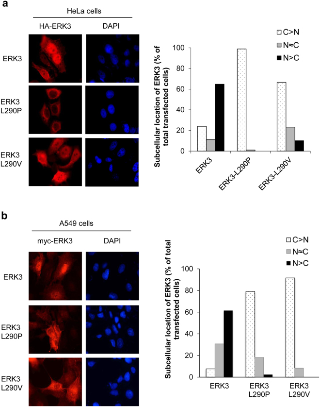L290P/V mutations increase ERK3 protein's cytoplasmic localization. ( a ) Subcellular distribution of wild type ERK3 and the L290P/V mutants in HeLa cells. HA-tagged wild type ERK3 or each of the L290P/V mutants was exogenously expressed in HeLa cells. Subcellular localization of ERK3 proteins was determined by immunofluorescent staining using an anti-HA antibody (red), and DNA was stained with DAPI (blue) to show the nucleus. Pictures were taken under 63X magnification and representative images are shown (left). For each transfection, at least 50 cells expressing ERK3 or each ERK3 mutant were analyzed and classified into three groups as follow: cells showing predominant cytoplasmic ERK3 localization (C > N), cells showing relatively equal distribution of ERK3 in the nucleus and cytoplasm (N = C) and cells showing predominant nuclear localization of ERK3 (N > C). The bar graph (right) represents the percentage of total transfected cells for each different group. ( b ) Subcellular distribution of wild type ERK3 and the ERK3 L290P/V mutants in A549 lung cancer cells. Experiments were done with the same procedures as described in ( a ), except that myc-tagged ERK3 was transduced into A549 cells by lentivirus and an anti-myc antibody was used for detecting the exogenously expressed ERK3 and ERK3 mutants.