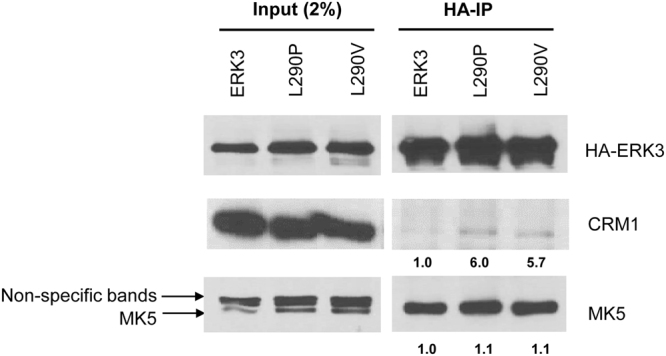 As compared to wild type ERK3, both L290P and L290V mutants have increased interactions with CRM1. HA-tagged wild type ERK3, ERK3 L290P or ERK3 L290V was exogenously expressed in HeLa cells. ERK3 protein complexes were immunoprecipitated using agarose beads conjugated with anti-HA antibodies, followed by Western blotting of the proteins as indicated in the figure. Input: 2% of the amount for immunoprecipitation (IP). Numbers below the immunoblots of CRM1 and MK5 in HA-IP samples represent the relative binding capacity of ERK3 (or L290P or V mutants) with these proteins, which is determined by the ratio of the band intensity in HA-IP over that in the corresponding input. For the purpose of comparison, the relative binding capacity of wild type ERK3 with either CRM1 or MK5 was arbitrarily set as 1.0.