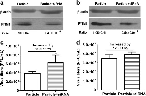 Antiviral activity of IFITM1 induced by viral particle inoculation in HUVECs and BEAS-2Bs. HUVECs and BEAS-2Bs were inoculated with viral particle at MOI of 5 and incubated for 1 h, then cells were transfected with control siRNA or IFITM1 specific siRNA for 36 h before infected with H9N2 virus at MOI of 5. Virus titer of each group was detected by plaque assay at 36 h postinfection. The effect of IFIMT1 specific siRNA on IFITM1 expression was detected using western blot. a IFITM1 protein level after transfected with siRNA in HUVECs. b IFITM1 protein level after transfected with siRNA in BEAS-2Bs. c Virus titers in HUVECs transfected with control siRNA or IFITM1 specific siRNA. Compared to particle group (control siRNA), the virus titer in particle + siRNA group (IFITM1 specific siRNA) was increased by 60.5 ± 10.7% ( P