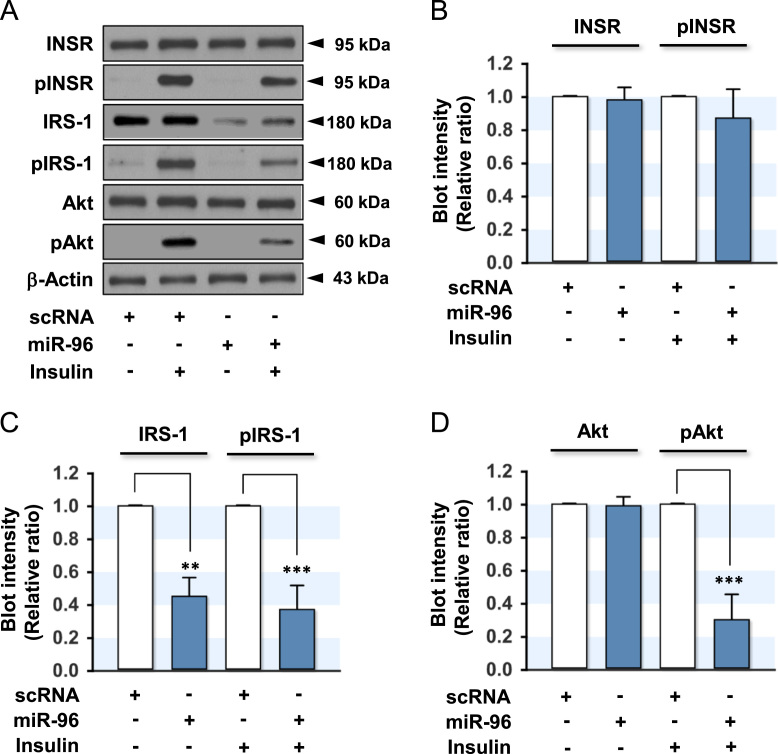 Effect of miR-96 on the expression and phosphorylation of insulin signaling molecules. L6-GLUT4myc myocytes were transfected with the scRNA (200 nM) or miR-96 (200 nM) mimic. After 48 h transfection, the cells were incubated in the presence or absence of insulin (100 nM) for 30 min and subjected to immunoblotting. (A) Representative immunoblots obtained from L6-GLUT4myc myocytes are shown in A. (B) The expression and phosphorylation of INSR (pINSR) were normalized to the amount of INSR. (C) The expression and phosphorylation of IRS-1 (pIRS-1) were normalized to the amount of β-Actin. (D) The protein expression of Akt was normalized to the amount of β-Actin. The level of Akt phosphorylation (pAkt2) was normalized to the amount of Akt. The values are the relative ratio, where the intensity of the scRNA control was set to one, and expressed as the means ± SEM from three independent experiments. *, P