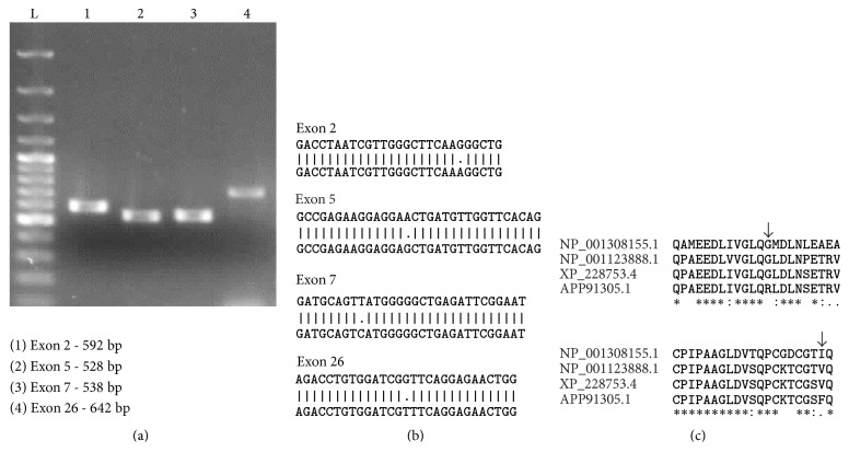 Amplification, sequencing and analysis of exons 2, 5, 7, and 26 . Exons 2, 5, 7, and 26 were amplified by <t>PCR</t> using primers specific to these regions (a). L-100 bp ladder. PCR products were sequenced by Sangers method. All the 4 nucleotide differences were also present at genomic <t>DNA</t> level. Representative image of exon specific amplification (b). Alignment of exon specific sequencing results with human, mouse, and rat (predicted) sequence shows 2 amino acid residue changes (c).