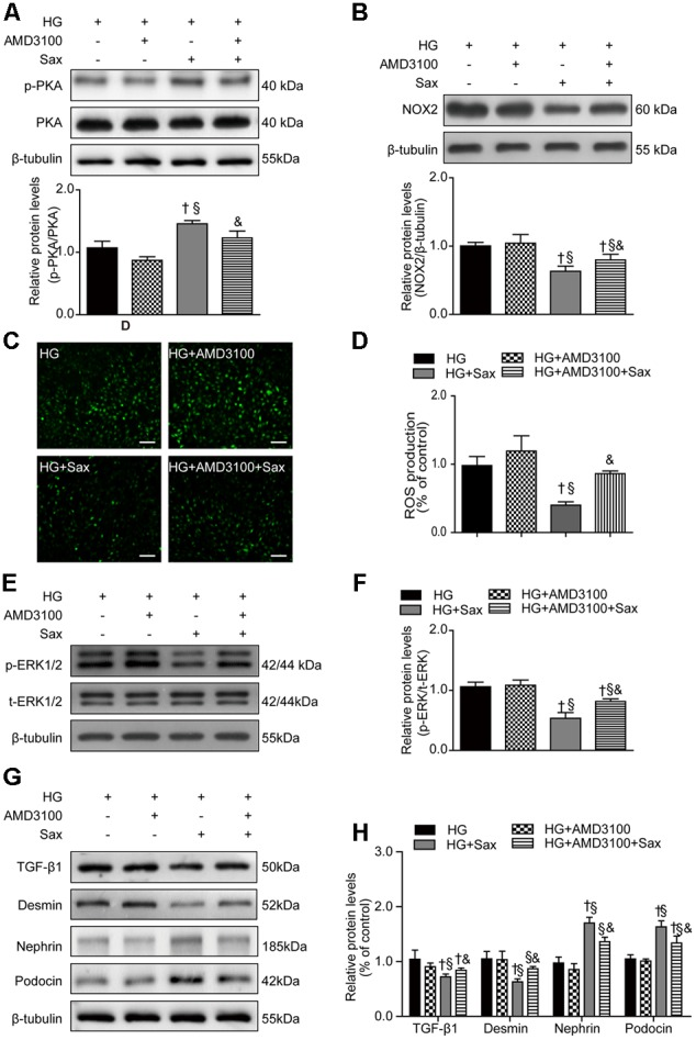Effects of SDF-1α receptor blockade via AMD3100 followed by saxagliptin treatment on oxidative stress and podocyte EMT in cultured podocytes. (A) Western blot analysis of the PKA phosphorylation levels and their quantification after treatment with HG, HG plus AMD3100, HG with saxagliptin, and pretreatment with AMD3100 for 1–2 h followed by saxagliptin under HG conditions. (B) Western blot analysis of NOX2 and its quantification in various conditions. (C,D) The amount of ROS production in podocytes detected with a DCFH-DA assay (original magnification × 200, bars = 100 μm). (E,F) Protein expression of phosphorylated ERK1/2 assessed by Western blot analysis of cell lysates under different conditions and its quantification. (G,H) Western blot analysis of TGF-β1, desmin, nephrin, and podocin under various conditions and their quantification. One-way ANOVA followed by Tukey's test was used to compare the difference between any two of the four groups. The data are presented as the mean ± SD ( n = 3–4 for each group, 3 replicates). † P