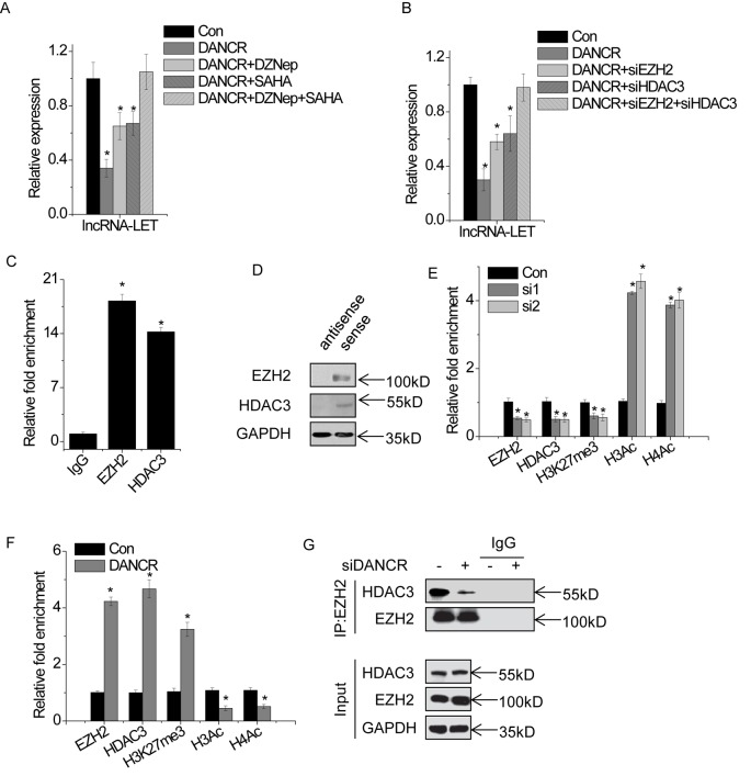 DANCR epigenetically suppresses lncRNA-LET expression through association with EZH2 and HDAC3 ( A ) The DANCR-overexpressed AGS cells were treated with 5 μM DZNep and/or 1 μM SAHA for 48 h, and the relative expression of lncRNA-LET was detected by qPCR. ( B ) The DANCR-overexpressed AGS cells were transfected with EZH2 and/or HDAC3. After 48 h, the relative expression of lncRNA-LET was detected by qPCR. ( C ) DANCR RNA levels in immunoprecipitates by EZH2 or HDAC3 were determined by qPCR. DANCR RNA expression levels are presented as fold enrichment values relative to IgG immunoprecipitates. ( D ) EZH2 and HDAC3 protein levels in immunoprecipitates with biotin-labeled DANCR RNA were evaluated by Western blot. ( E ) The occupancy level of EZH2, HDAC3, H3K27me3, H3Ac, and H4Ac at lncRNA-LET promoter region was determined by ChIP assay and followed by qPCR in control and DANCR-silenced BCG-823 cells. ( F ) The occupancy level of EZH2, HDAC3, H3K27me3, H3Ac, and H4Ac at lncRNA-LET promoter region was determined by ChIP assay and followed by qPCR in control and DANCR-overexpressed AGS cells. ( G ) BCG-823 cells were transfected with DANCR siRNAs for 48 h. After immunoprecipitating endogenous EZH2, bound HDAC3 was subjected to Western blotting. All experiments were repeated three times. Data are shown as mean ± SD; * P