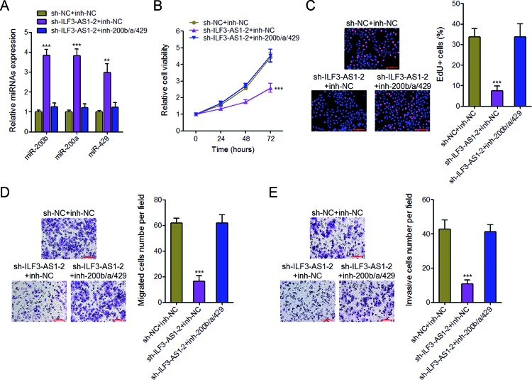 Inhibition of miR-200b/a/429 abrogates the inhibitory effects of ILF3-AS1 knockdown on melanoma cell proliferation, migration, and invasion ( A ) The expression of miR-200b, miR-200a, and miR-429 in ILF3-AS1 stably depleted and control A375 cells transfected with miR-200b/a/429 inhibitors or control was measured by qRT-PCR. ( B ) Glo cell viability assays in ILF3-AS1 stably depleted and control A375 cells transfected with miR-200b/a/429 inhibitors or control. ( C ) EdU incorporation assays in ILF3-AS1 stably depleted and control A375 cells transfected with miR-200b/a/429 inhibitors or control. The blue color indicates the nuclei, and the red color indicates EdU-positive nuclei; scale bar = 100 μm. ( D ) Transwell migration assays in ILF3-AS1 stably depleted and control A375 cells transfected with miR-200b/a/429 inhibitors or control. Representative images are shown; scale bar = 100 μm. ( E ) Transwell invasion assays in ILF3-AS1 stably depleted and control A375 cells transfected with miR-200b/a/429 inhibitors or control. Representative images are shown; scale bar = 100 μm. For all panels, data are represented as mean ± SD; ** P