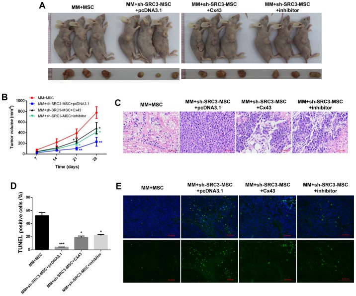 SRC3 expressed in BMSCs promoted tumor growth of multiple myeloma cells by regulating the expression of Cx43. The BMSCs were treated with sh-SRC3 to knockdown the expression of SRC3 and RPMI-8226 cells were either overexpressed with Cx43 or treated with MAPK inhibitor <t>SB202190.</t> The cells were co-injected into nude mice to establish murine multiple myeloma models. Each nude mouse was injected with 100 µ l of cell suspension containing 3×10 6 RPMI-8226 cells and 3×10 5 MSC subcutaneously into the right flank for the following groups. MM+MSC, MM+sh-SRC3-MSC+pcDNA3.1, MM+sh-SRC3-MSC+Cx43, MM+sh-SRC3-MSC+inhibitor. (A) Representative images of tumors from each group. (B) Growth curve of tumors was calculated for each group. (C) Representative images of hematoxylin and eosin staining (x10) of tumors. (D) The proportion of TUNEL positive cells. (E) Representative images of TUNEL staining in tumors. Scale bars, 100 µ m. Data represent mean ± SEM. * P