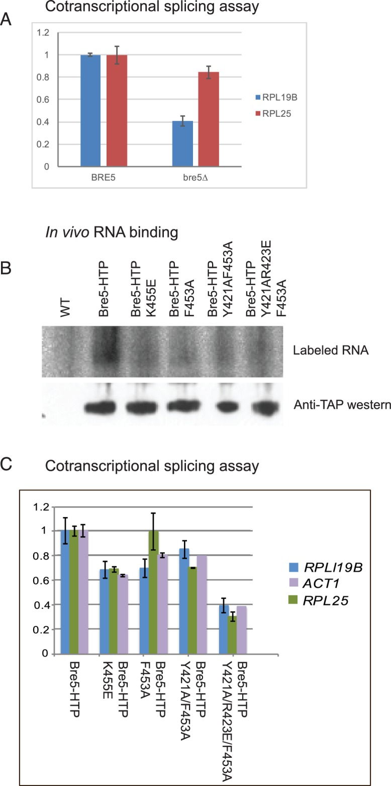 Strains lacking functional Bre5 show decreased co-transcriptional splicing. ( A ) RT-qPCR analysis of endogenous, polyadenylated and intron-containing transcripts using primer pairs over the 3' splice site expressed relative to non-intron-containing PGI1 mRNA, in a wild type strain and in a strain lacking Bre5. The histogram shows the mean of three replicates with standard error, with the value in the BRE5 strain set to 1. The reduced level of unspliced poly(A) + shows increased efficiency of cotranscriptional splicing associated with RNAPII that has reached the 3' end of the transcription unit. ( B ) Analysis of in-vivo RNA- binding activity of Bre5 with point mutants in the RRM. The top panel shows the recovery of radio-labelled RNA that was bound to Bre5 following in vivo crosslinking and multi-step, denaturing purification and separation by SDS-PAGE as described for CRAC analyses. The lower panel shows a western blot using an anti-TAP antibody against the tagged Bre5. ( C ) RT-qPCR analysis of endogenous unspliced, polyadenylated transcripts using primer pairs over the 3' splice site expressed relative to non-intron-containing PGI1 mRNA. The histogram in a wild type HTP-tagged Bre5 strain and in strains carrying the point mutations in the RRM. The histogram shows the mean of three experiments with standard error, with the value in the strain expressing wild type Bre5 set to 1. The reduced level of unspliced, poly(A) + RNA in the mutant strains is interpreted as showing a requirement for a functional RRM in Bre5. 10.7554/eLife.27082.016 Source data for Figure 3A . 10.7554/eLife.27082.017 Source data for Figure 3C .