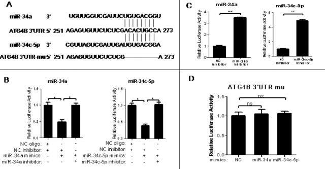 3′-Untranslational region of ATG4B mRNA contains a functional target site for miR-34a and miR-34c-5p (A) A putative binding site of miR-34a/miR-34c-5p in the 3′-UTR of human ATG4B mRNA. The potential functional target sites have also been deleted artificially (B-D) The wild-type ATG4B 3′-UTR reporter plasmid was transiently co-transfected with RNA oligos (NC oligo and NC inhibitor, NC inhibitor and miR-34a/miR-34c-5p mimics, miR-34a/miR-34c-5p mimics and inhibitor of itself) (B), or with miR-34a/miR-34c-5p inhibitor or inhibitor NC(C) into HeLa cells for 24hr. The mutated-type ATG4B 3'-UTR reporter plasmid was also transiently co-transfected with equal amount of miR-34a/miR-34c-5p mimics into HeLa cells (D) for 24hr. Then the luciferase assay was conducted. The data were the firefly luciferase activities normalized with the Renilla luciferase activity. The transfection experiments were performed at least 3 times in triplicate, and the data were represented as fold induction over the NC control