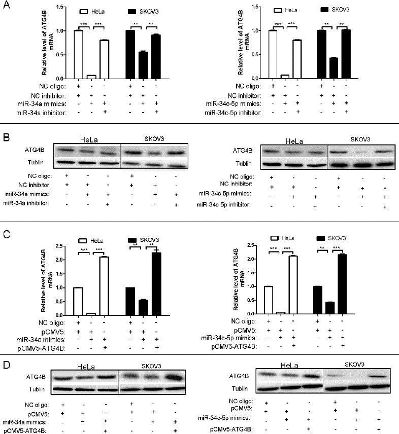 miR-34a and miR-34c-5p downregulate the expression of ATG4B (A, C) qPCR analysis for ATG4B mRNA levels in HeLa and SKOV3 cells after transfection with equal amount of indicated plasmids and/or RNA oligos for 24 hr. ATG4B mRNA level was normalized with β-actin mRNA, and the data were represented as fold induction over the NC control (B, D)Western blot analysis for ATG4B protein level in HeLa and SKOV3 cells after transfection with equal amount of indicated plasmids and/or RNA oligos for 24hr