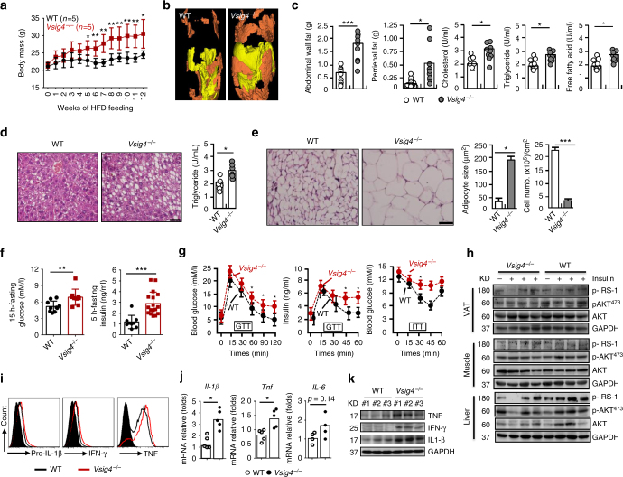 Vsig4 −/− mice are more susceptible to HFD-induced obesity with insulin resistance. Eight-week-old male Vsig4 −/− mice and age-matched C57BL/6 WT controls were fed a HFD. a Body weight was measured and compared. The obese mice were sacrificed after 10 weeks of HFD feeding. b Fat distribution was detected by μCT. Yellow indicates subcutaneous fat and brown indicates that visceral fat. c Measurement of abdominal wall fat, perirenal fat, serum triglyceride, cholesterol, and free fatty acid. d Representative liver H E staining (left), and intrahepatic triglyceride contents (right), scale bar = 20 μm, n = 10 per group. e Representative the architecture of adipose tissues stained by H E (left), adipocyte size and cell numbers was calculated (right), scale bar = 20 μm, n = 10 per group. f The 15-h-fasting blood glucose levels and 5-h-fasting serum insulin levels. g GTT and ITT were performed in theses obese mice, n = 6 per group. h Western blot of the AKT, p-Akt ser473 , and p-IRS-1 in VAT, muscle and liver tissues of obese mice after 4 min of insulin administration, n = 4 per group. ATMs were isolated from obese mice. i Flow cytometry analyzing pro-IL-1β, IFN-γ, and TNF. Cytokines in VAT were detected by j qRT-PCR and k western blot. Error bar, s.e.m. * p