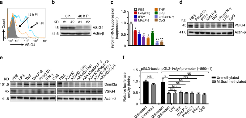 Vsig4 gene transcription is repressed Dnmt3a-mediated DNA methylation. The C57BL/6 WT mice were infected with MHV-3 (100 PFU/mouse), a the expression of VSIG4 on PEMs at 0 h and 12 h PI was detected by flow cytometry. b VSIG4 protein level in liver tissues was analyzed by western blot. The BMDMs were treated with proinflammatory factors for 12 h. c Vsig4 gene transcription was detected by qRT-PCR. d VSIG4 protein expression was evaluated by western blot. e The BMDMs were treated with Dnmts inhibitor-AZAdC (10 μM) for 72 h in advance, cells were then further added with proinflammatory mediators for 12 h, the expression of Dnmt3a and VSIG4 was assessed by western blotting. f Luciferase activity of the lysates from RAW264.7 cells transfected with unmethylated or M.SssI methylated pGL3-basic vector and the -840/+1 Vsig4 promoter constructs. Error bar, s.e.m. * p