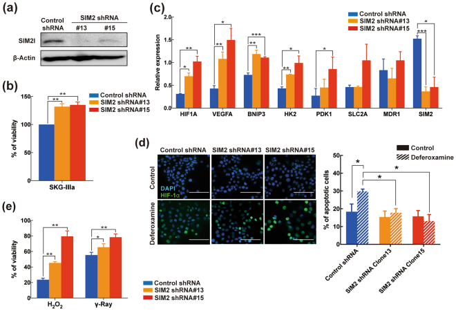 SIM2 knockdown enhances survival and resistance to radiation in a 3D culture. ( a ) Western blot analysis of SIM2l in SIM2 shRNA-expressing SKG-ΙΙΙa cells. Two knockdown clones (#13 and #15) were established and analyzed. β-Actin was used as a loading control. The cropped blots are used in the figure and full blots are presented in Supplementary Figure S6 . (b) Cell viability assay of SIM2-knockdown cells cultured for 9 days in a 3D plate. Each viability was normalized by control shRNA-expressing cells. (c) qRT-PCR analysis of HIF1A and its target genes ( VEGFA , BNIP3 , HK2 , PDK1 , SLC2A , and MDR1 ) in SIM2-knockdown cells under a 3D culture. (d) SIM2 knockdown induces HIF-1α and resistance to apoptosis. Left panels show representative fluorescent images of immunohistochemistry for HIF-1α (Green) after 24-hour exposure by DMSO control (top panels) or 100 μM deferoxamine (bottom panels). All images were overlaid by DAPI staining for detection of nuclei (blue). Each bar represents 100 μm. Right panels show apoptosis detection of SIM2-knockdown cells treated by DMSO (solid bar) or 100 μM deferoxamine (striped bar) for 24 hours. Calculation of apoptotic fractions is described elsewhere. (e) Sensitivity of SIM2-knockdown cells against H 2 O 2 and γ-ray. Cells were cultured under 3D condition followed by 24-hour exposure of 1 mM H 2 O 2 or 5 Gy of γ-ray irradiation. Data were normalized by untreated control. Data were obtained from 3 independent experiments and presented as mean ± SD. All statistical analyses were performed by student t-test. *, **, and *** represent p