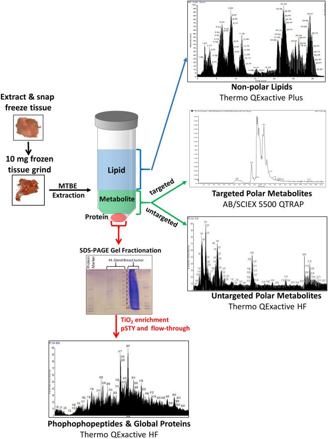 Workflow of the Serial-omics experiment. 10 mg of breast tumor tissue and 10 mg of normal mammary gland were harvested from the mouse and snap frozen separately in liquid nitrogen. The frozen tissue was ground to a powder over dry ice. The powder was solubilized in PBS and extracted with methyltert-butyl ether (MTBE), methanol and water. The upper non-polar liquid phase was collected, dried out and analyzed for untargeted lipidomics via DDA with a Thermo <t>QExactive</t> Plus high resolution <t>Orbitrap</t> mass spectrometer. The lower liquid phase was collected, dried out and analyzed with polarity switching for polar metabolomics via both targeted metabolomics (AB/SCIEX 5500 QTRAP hybrid triple quadrupole mass spectrometer) and untargeted metabolomics (high resolution Thermo QExactive HF Orbitrap). The precipitated protein pellet was re-suspended in sample buffer and separated via a SDS-PAGE gel, fractionated, digested with trypsin and enriched for phosphopeptides via TiO 2 . The digestion mixture and TiO 2 enriched phosphopeptides were analyzed by DDA in pos mode with a Thermo QExactive HF.