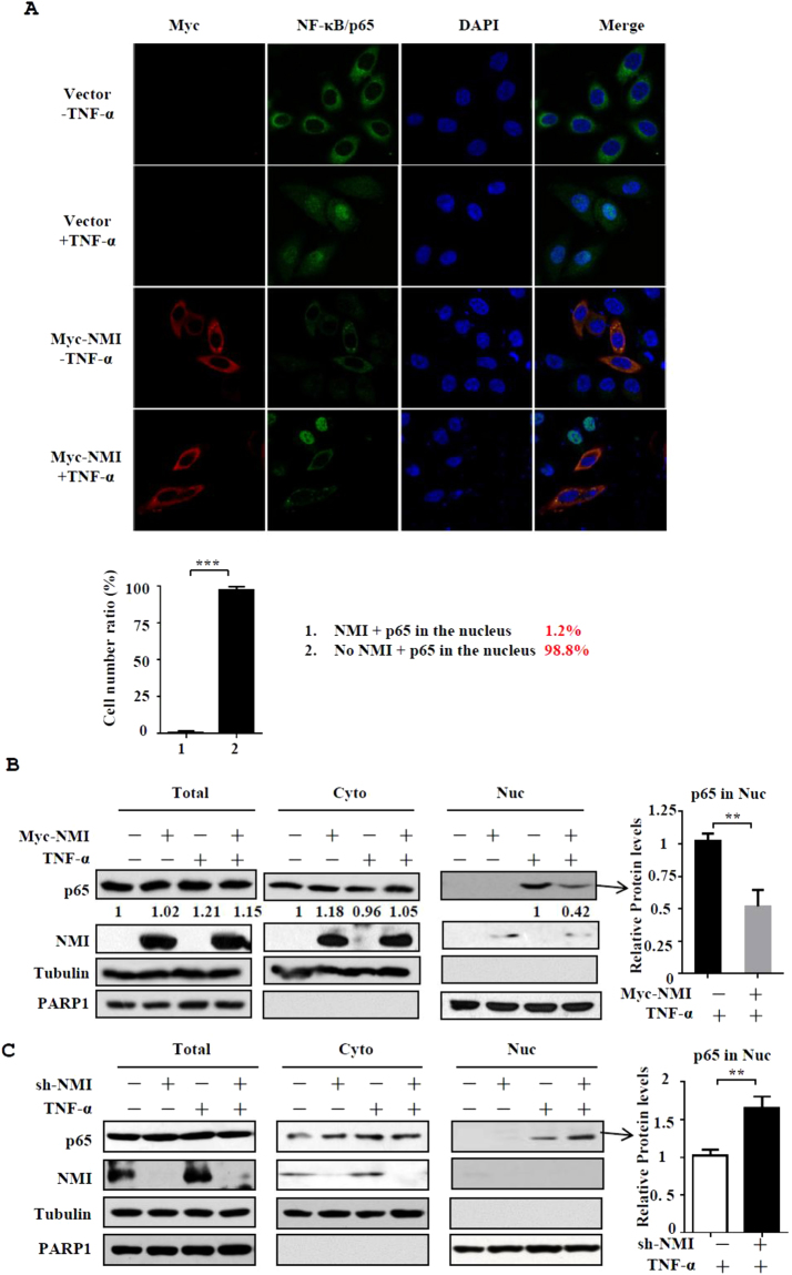 NMI inhibits the nuclear translocation of NF-κB/p65 after TNF-α stimulation. (A) HeLa cells were transfected with control or Myc-NMI plasmids, and at 24 h posttransfection, the cells were left untreated or treated with TNF-α (10 ng/ml) for 60 min. The cells were fixed and incubated with anti-p65 or anti-Myc Ab and then stained with rhodamine-conjugated anti-mouse <t>IgG</t> (red) or <t>FITC-conjugated</t> anti-rabbit Ab (green). The same slide was also stained with DAPI to show the nucleus. The expression and localization of p65 and Myc-NMI was determined by confocal immunofluorescence analysis. The percentage of the cells expressing p65 in the nucleus among the cells that express Myc-NMI and the cells that don't express Myc-NMI was calculated in the bottom panel. (B) HeLa cells were transfected with control or Myc-NMI plasmids, and at 24 h posttransfection, the cells were left untreated or treated with TNF-α (10 ng/ml) for 60 min. The cells were then harvested and fractionated into the nuclear and cytoplasmic fractions, and the fractions were immunoblotted with anti-NMI and anti-p65 Abs. The quantification by densitometry of western blots of p65 bands without or with Myc-NMI in TNF-α-stimulated nuclear fractions was shown in the right panel. The results are representative of three independent experiments, and the error bars represent the SD.**p