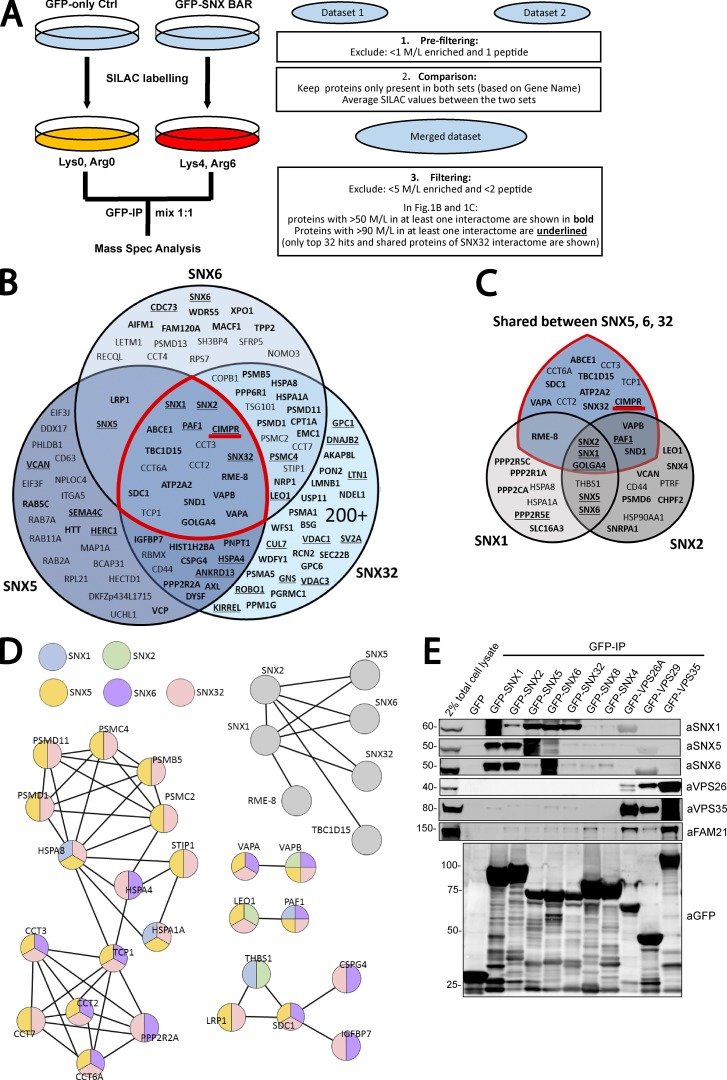 Interactome of the retromer-linked SNX-BAR complex. (A) Schematic representation of the SILAC methodology and the approach used to filter and merge SILAC datasets. (B) Venn diagram showing the interactors of SNX5, SNX6, and SNX32. (C) Venn diagram showing the interactors of SNX1 and SNX2 together with the shared interactors between SNX5, SNX6, and SNX32 (those within the red demarcated area in B). (D) STRING analysis of SNX-BAR interactors. Interactors were compiled and subjected to STRING analysis. Each connecting line represents an interaction indicated by experimental or database evidence. Color of the node indicates presence of the protein in a specific subset of the SNX-BAR interactome. (E) GFP trap of GFP-tagged retromer-linked SNX-BARs, retromer, and the retromer-independent SNX4 and SNX8, each transiently transfected in HEK293T cells. Molecular masses are given in kilodaltons. IP, immunoprecipitation.