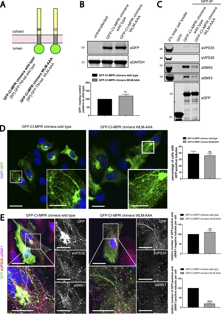 SNX1 is less efficiently recruited to CI-MPR tubules expressing a chimera harboring the WLM-AAA mutation. (A) Scheme of CI-MPR chimera constructs used. SP, signal peptide; TM, transmembrane domain. (B, top) The GFP–CI-MPR chimera WT and the GFP–CI-MPR chimera WLM-AAA mutant have comparable expression levels. HeLa cells were transfected with CI-MPR chimeras. 48 h after transfection, GFP levels were analyzed by Western blotting. (B, bottom) n = 3 independent experiments. (C) The GFP–CI-MPR chimera WLM-AAA mutant has a reduced ability to bind to the SNX1/2–SNX5/6 complex. GFP trap of GFP-tagged GFP–CI-MPR chimeras, each transiently transfected in HEK293T cells. Molecular masses are given in kilodaltons. IP, immunoprecipitation. (D, left) HeLa cells were transfected with WT or WLM-AAA mutant GFP–CI-MPR chimera constructs. Bars: (main images) 20 µm; (insets) 5 µm. (D, right) The percentages of cells with at least one GFP-positive tubule were blindly scored. n = 3 independent experiments; WT, 145 cells; WLM-AAA, 139 cells. (E) HeLa cells were transfected with WT or WLM-AAA mutant GFP–CI-MPR construct and immunostained for endogenous SNX1 and endogenous VPS35 after 48 h. Bars: (main images) 20 µm; (insets) 10 µm. (E, top right) Relative number of GFP-positive and SNX1-negative tubules per cell. n = 3 blindly scored independent experiments; WT, 40 cells; WLM-AAA, 38 cells. (E, bottom right) Relative number of GFP-positive and SNX1-positive tubules per cell. n = 3 blindly scored independent experiments; WT, 40 cells; WLM-AAA, 38 cells (means ± SEM; unpaired t test; *, P