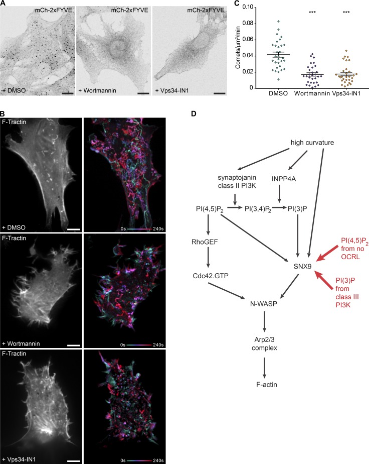PI 3-kinase inhibitors decrease the number of actin comet tails in OCRL-deficient cells and overall model. (A) Purified mCherry-2×FYVE domain used to stain for PI(3)P in cells fixed after treatment with DMSO control, 2 µM wortmannin, or 10 µM Vps34-IN1 in serum-free media for 1 h before imaging. (B) Representative images from time-lapse videos of OCRL-deficient cells expressing F-tractin and treatment with DMSO or the inhibitors, as shown in Video 6. Actin comets were reduced on PI 3-kinase inhibitor treatment. Bars, 10 µm. (C) Quantification of actin comets from n = 30 cell regions for each treatment. Bars indicate the mean ± SEM for each condition. Difference assessed by ordinary one-way ANOVA with Dunnett's multiple comparisons test, overall ANOVA, and comparing each inhibitor treatment to DMSO control cells. ***, P ≤ 0.0001. (D) Pathway of curvature signaling to actin polymerization via PI(4,5)P 2 /PI(3)P/SNX9 during CME. High curvature activates a cascade of phosphoinositol metabolism to change membrane identity and trigger actin polymerization at PI(4,5)P 2 /PI(3)P-enriched and highly curved sites via the oligo merization of SNX9 during endocytosis. In Lowe syndrome, OCRL deficiency increases PI(4,5)P 2 levels on PI(3)P intermediates, triggering SNX9 assembly. PI(4,5)P 2 also activates Cdc42 (independently of the curvature) for the relief of N-WASP inhibition. N-WASP oligomerization (via SNX9 binding) finally drives superactivation of the Arp2/3 complex and, thus, actin polymerization.