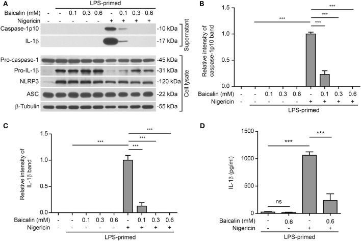 Baicalin attenuated nigericin-induced NOD-like receptor (NLR) family, pyrin containing domain 3 (NLRP3) inflammasome activation. Bone marrow-derived macrophages were first primed with LPS (500 ng/ml) for 4 h and then pretreated with indicated doses of baicalin for 1 h, followed by incubation with nigericin (10 μM) for 1 h without LPS. (A) Western blot analysis was used to assess the expression and secretion of indicated proteins in the cell lysates and culture supernatants, respectively. β-Tubulin was used as a loading control for cell lysates. (B,C) Histograms showing the relative intensity of capase-1p10 (B) or interleukin (IL)-1β (C) bands in culture supernatants in panel (A) . The intensity of capase-1p10 or IL-1β bands in nigericin group was set to 1.0. The intensity of the other groups was calculated relative to the nigericin group. (D) The levels of soluble IL-1β were detected by cytometric bead array assay in the culture supernatants. The experiments were performed three times independently, with one representative experiment shown. Data are shown as mean ± SD ( n = 3). ***P