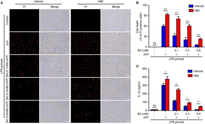 Baicalin inhibited cell death in macrophages depending on protein kinase A (PKA) signaling. LPS-primed bone marrow-derived macrophages were pretreated with the PKA inhibitor H89 (20 µM) for 30 min and then incubated with graded doses of baicalin for 1 h, followed by stimulated with adenosine triphosphate (ATP) (3 mM) for 30 min. (A) Cell death was assay by propidium iodide (PI) (red) and Hoechst 33342 (blue) co-staining for 10 min. The images were captured by fluorescence microscopy. One set of representative images of three independent experiments is shown. Scale bars, 50 µm. (B) PI-positive cells in five randomly chosen fields each containing ~100 cells were quantified. The percentage of cell death is defined as the ratio of PI-positive cells relative to all cells (revealed by Hoechst). Data are shown as mean ± SD ( n = 5). (C) Cells were treated as in panel (A) . The levels of soluble interleukin (IL)-1β in culture supernatants were measured by cytometric bead array assay. Data are shown as mean ± SD ( n = 3). * P