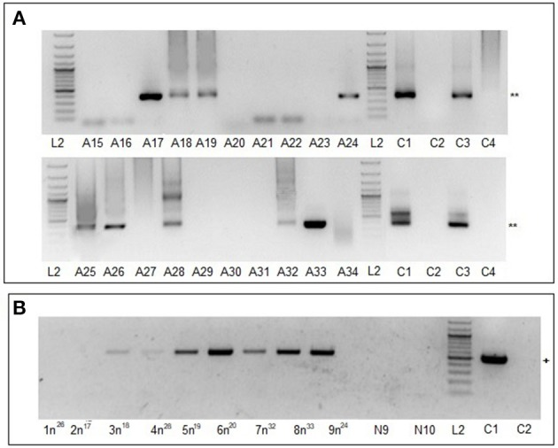 MHV68 detection in blood samples from mice infested with F0 females or F1 nymphs. (A) Lanes A15-A34, blood samples of 20 mice infested with infected F0 females; blood collected 15 days after tick infestation. ** Indicates MHV68 ORF50 gene nested PCR product of 382 base pairs. (B) Lanes 1n 26 , 2n 17 , 3n 18 , 4n 28 , 5n 19 , 6n 20 , 7n 32 , 8n 33 , and 9n 24 , blood samples of mice infested with F1 i nymphs; N9, N10 blood samples of control mice infested with F1 c nymphs. + Indicates MHV68 M3 gene one step RT-PCR product of 520 base pairs. Lanes L2, C1–C4 as for Figure 1A .